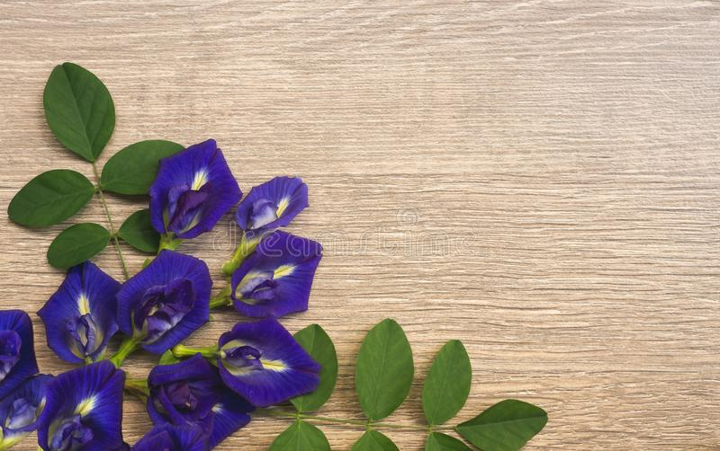 Top view of beautiful blue Butterfly pea, known as bluebell vine or Asian pigeon wings, decorate on a brown wooden background. With copy space stock image