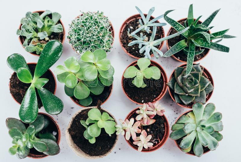 Top view of beautiful green succulents plants in pots stock photo
