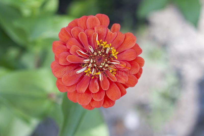 Top view of beautiful orange zinnia flower bloom in the garden. royalty free stock images