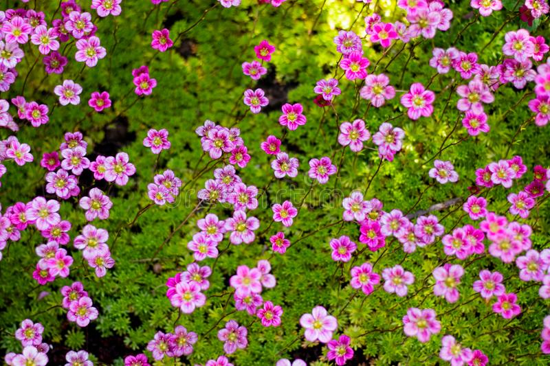 From the top view on beautiful primroses royalty free stock photography
