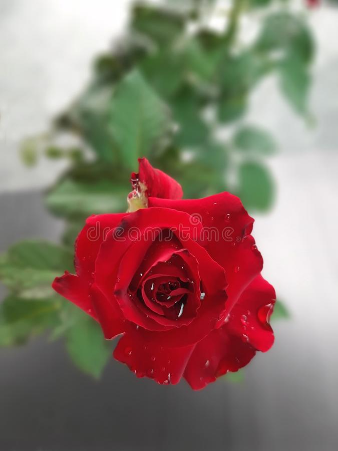Top view of blossom red rose flower with dew drops on petals. And blurred background royalty free stock photography