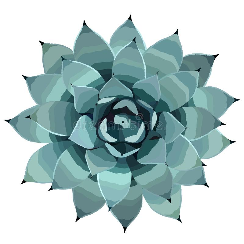 Top view of a blue agave plant vector illusration vector illustration