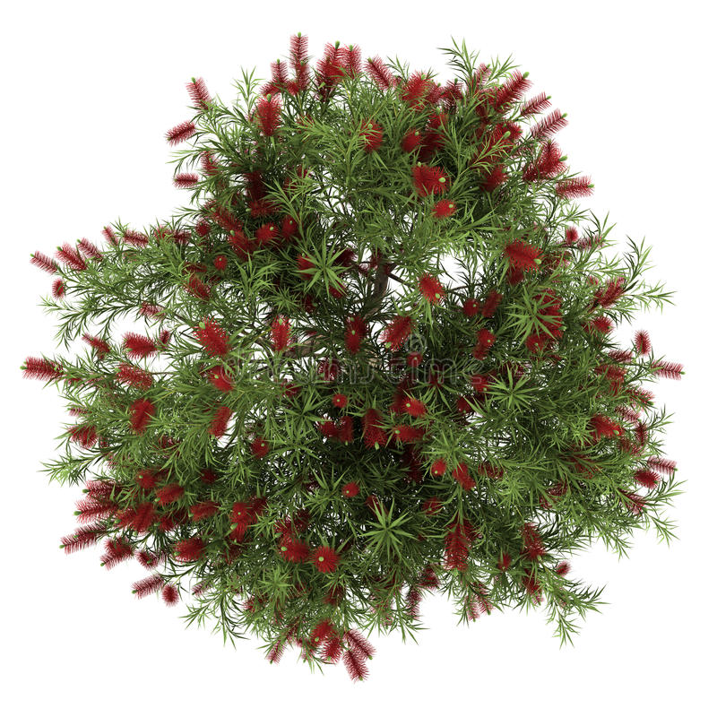 Download Top View Of Bottlebrush Tree Isolated On White Stock Illustration - Image: 26046511