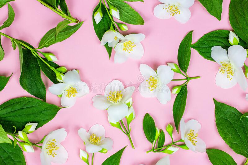 Top view of bright fresh white jasmine flowers with green leaves on pink background. royalty free stock photo