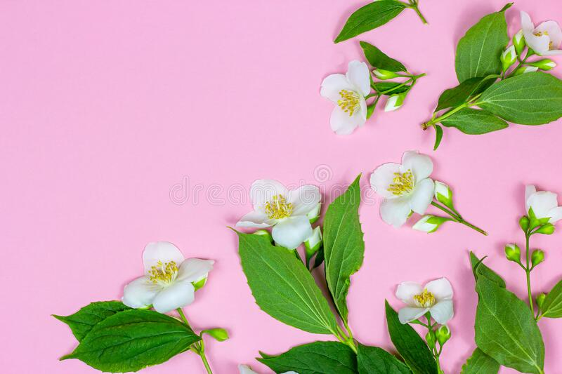 Top view of bright fresh white jasmine flowers with green leaves on pink background as a frame with copy space. stock images