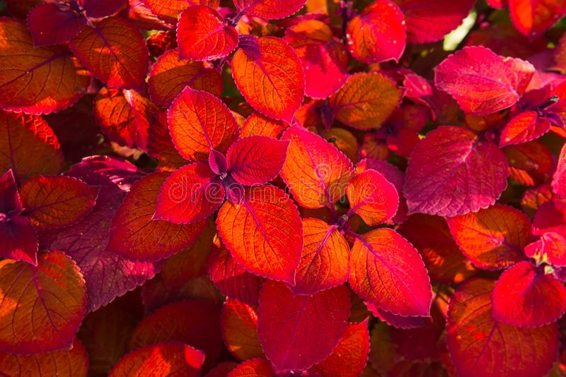 Top view bright red leaf foliage background. Ornamental redhead coleus shrub stock image