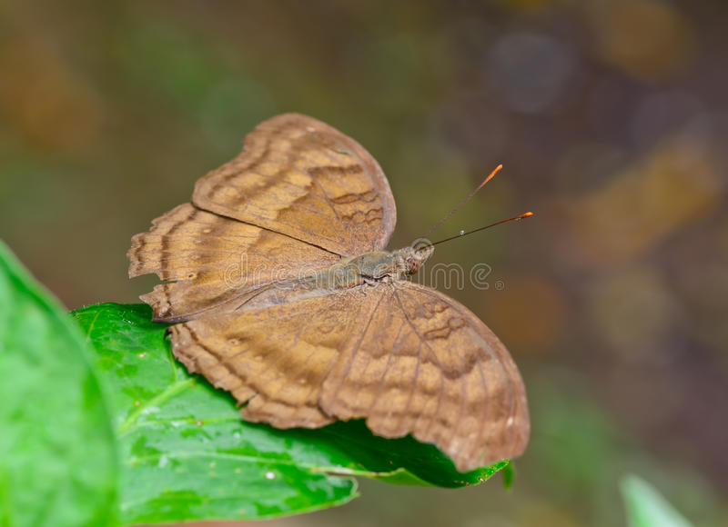 Download Top View  Brown Butterfly With One Waterdorp On Galore Stock Photo - Image of insect, green: 42870248