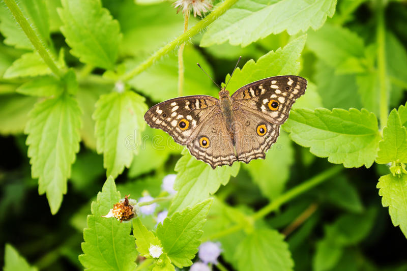 Top view brown cream and orange colour butterfly stock photography