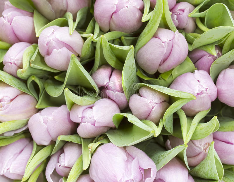 Download Bunch of pale pnk tulips stock image. Image of light - 29779799