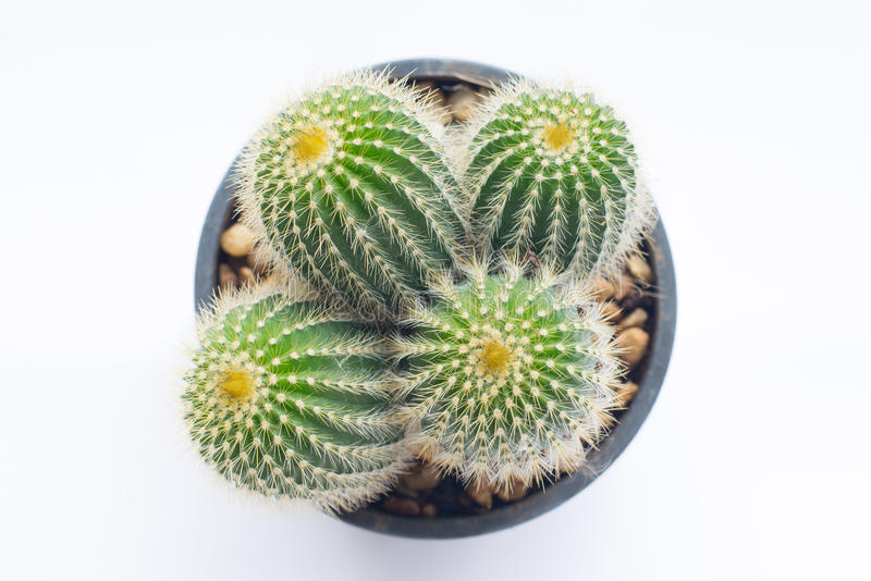 Top view of cactus in pot stock photo