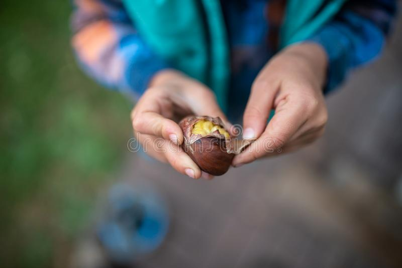 Top view of a child peeling a shell of roasted chestnut stock photography