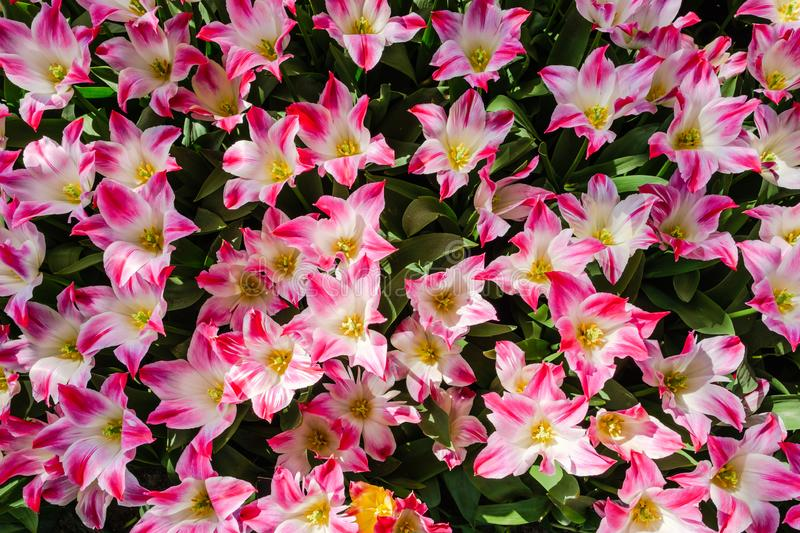 Top view close-up of beautiful blooming open pink-white lily flowering tulips stock photos