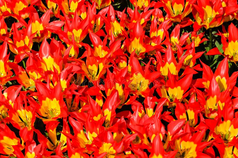 Top view close-up of gorgeous bright red-yellow lily tulips in bright sunlight. close together in a flower bed stock images