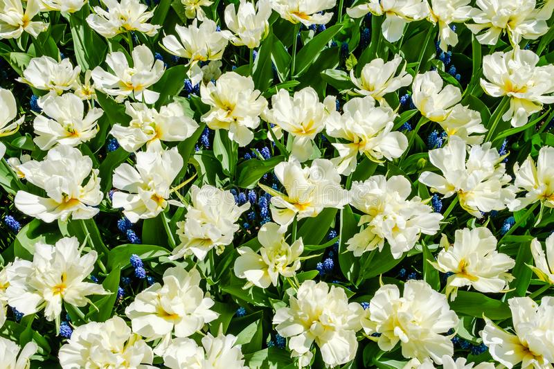 Top view close-up of gorgeous white open double tulips with blue grape hyacinths underneath royalty free stock photos