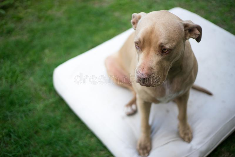 Top view close up head shot of pit bull dog sitting on a white m stock photo