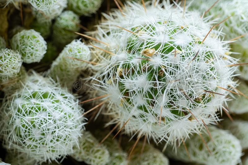 Top view close-up round beautiful green cactus with white needles stock photography