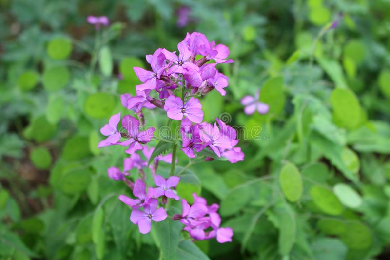 Top view close up of the vibrant pink flowers of Lunaria annua, called honesty or annual honesty is a species of flowering plant. Top view close up of the stock photography
