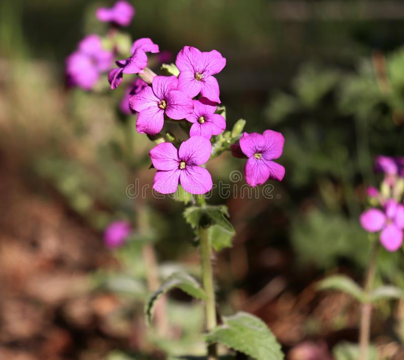 Top view close up of the vibrant pink flowers of Lunaria annua, called honesty or annual honesty is a species of flowering plant. Medicinal plants, herbs in royalty free stock image