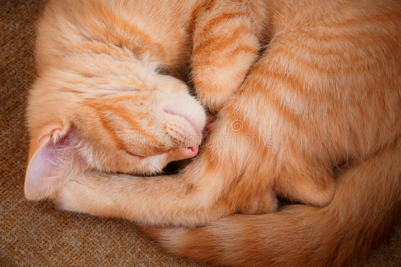 Top view closeup of sleeping red cat on sackcloth. Top view closeup of beautiful sleeping red cat on yellow sackcloth background stock images
