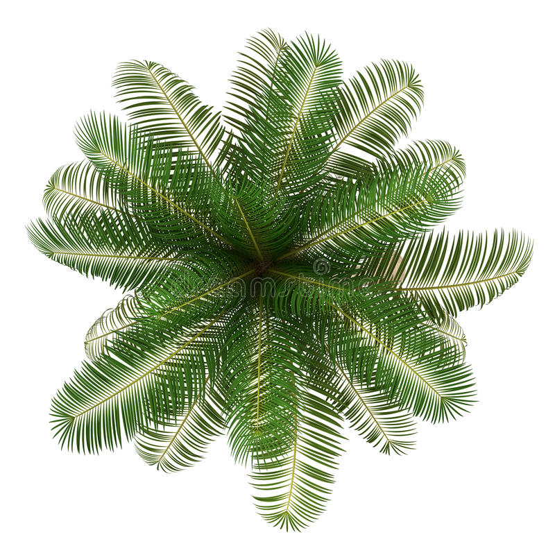 Top View Of Coconut Palm Tree Isolated On White Royalty Free Stock Photos