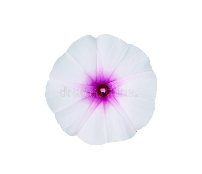 Top view colorful flowers of Ipomoea aquatica or morning glory blooming herbaceous plant convolvulaceae herbaceous plant ,. Close up Top view colorful flowers of royalty free stock images