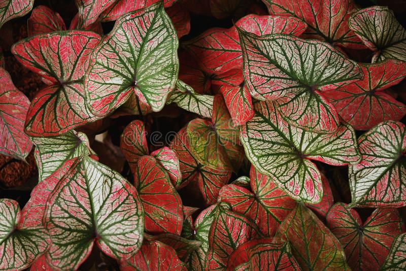Top view of Colorful ornamental leaves of Caladium or Angel Wings or Heart of Jesus and elephant ear,The tropical foliage plant fo. R background royalty free stock photos