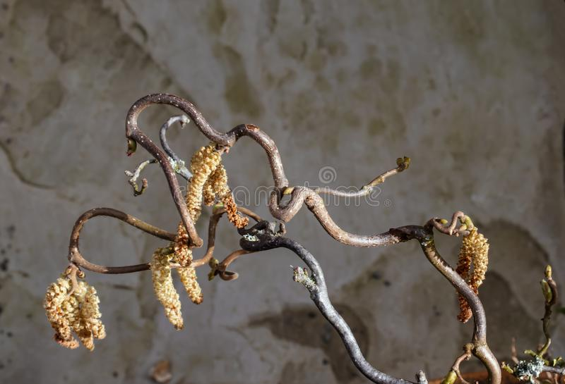 Top-view of contorted hazel stock image