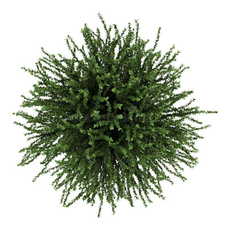 Download Top View Of Coral Beauty Bush Isolated On White Stock Illustration - Illustration of view, clipping: 25424917