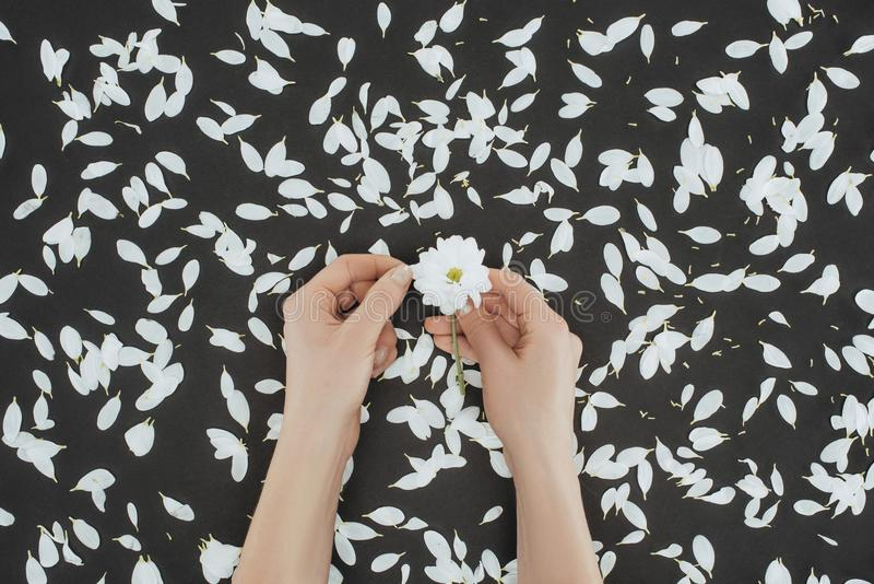 Top view of cropped female hands holding daisy with petals. Over black background stock photography