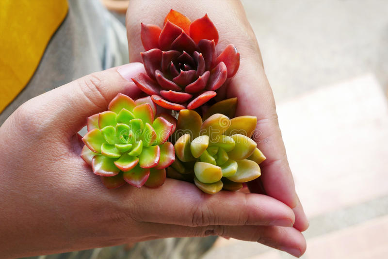 Top view cute colorful flora succulent plant in woman hand stock photo