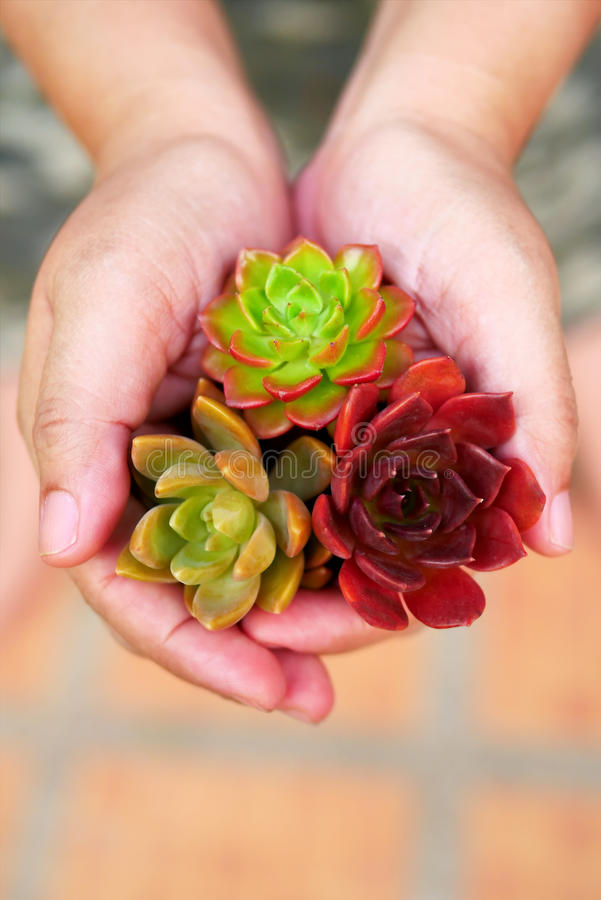 Top view cute colorful succulent plant in woman hands stock photos
