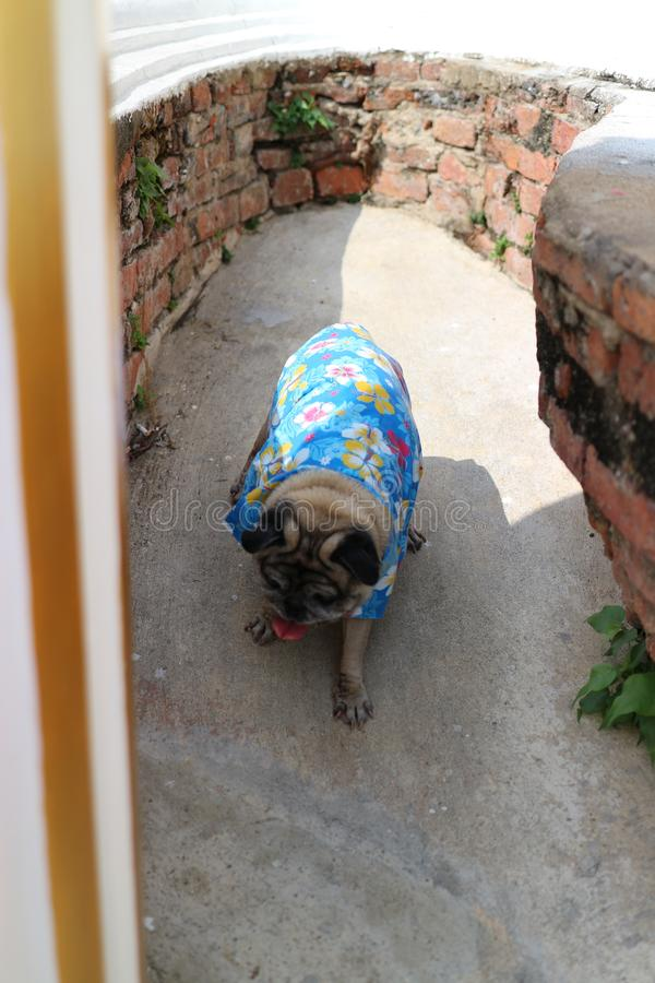Top view, cute pug dog, wearing a shirt, walking in a rock slot stock photos