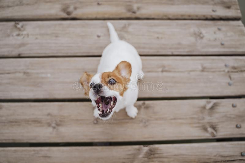 Top view of cute small jack russell terrier dog sitting on a wood bridge outdoors and eating delicious treats. Pets outdoors and. Lifestyle royalty free stock images