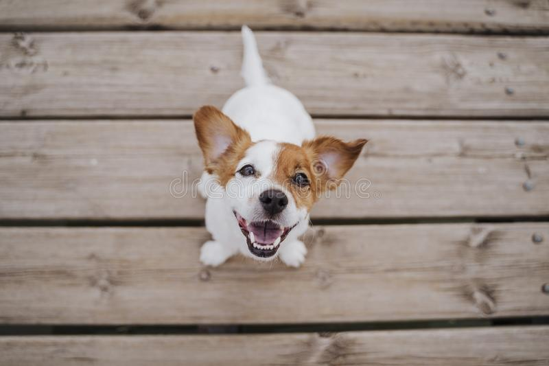 Top view of cute small jack russell terrier dog sitting on a wood bridge outdoors and looking at the camera. Pets outdoors and. Lifestyle royalty free stock image