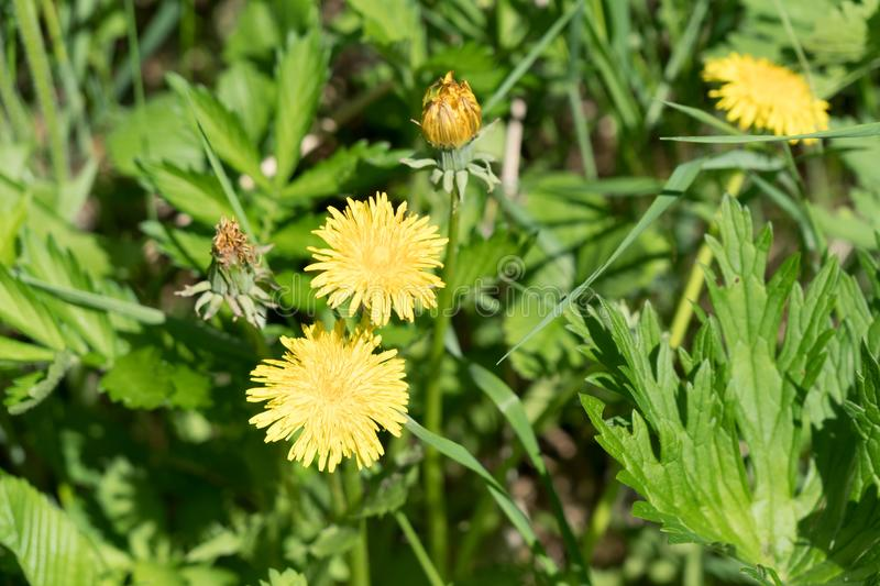 Top view of a Dandelion flower lat. Taraxacum on the grass in a Sunny summer day royalty free stock photography