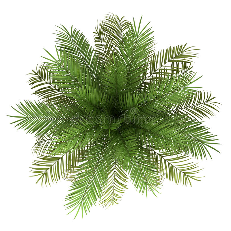 Top view of date palm tree isolated on white royalty free illustration