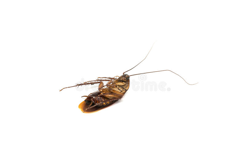 Top view a dead cockroach on white background stock photos