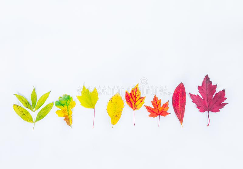 Top view Different types of tree fall leaves in a row gradient from green to dark red on white background isolated. Selective focu stock photography
