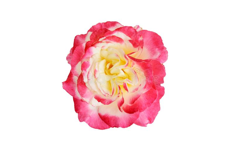 Top view Double Delight Hybrid Tea Rose royalty free stock images