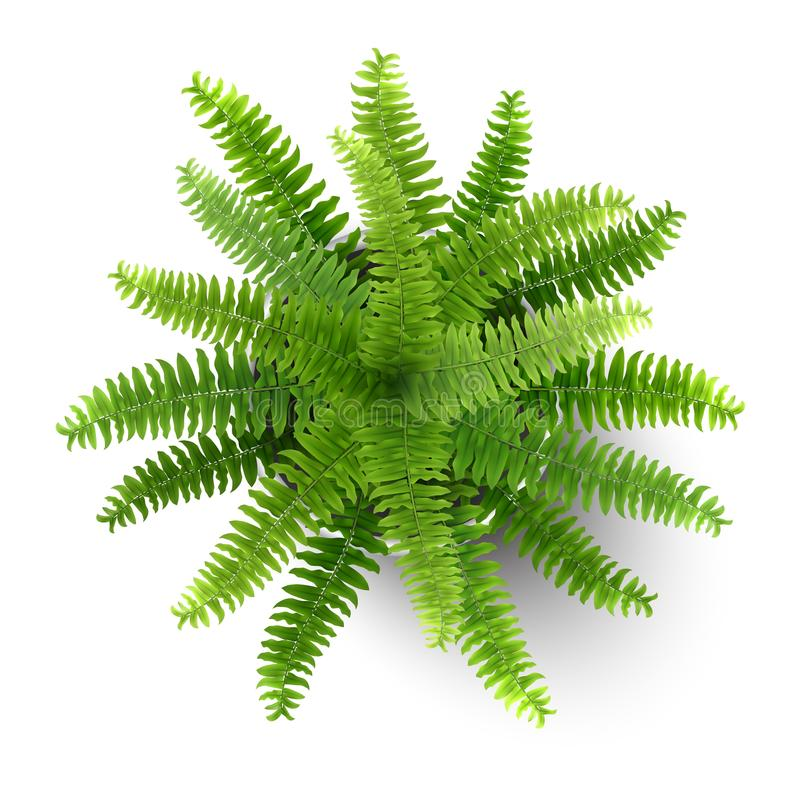 Fern in a pot top view. Top view of fern in a pot. Houseplant for decorating the worktop. Vector 3d realistic style stock illustration