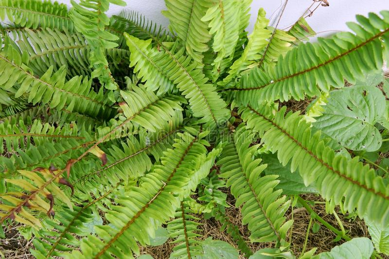 Top view of ferns leaves green background, ground cover plants. Beautiful green ferns leaves in a forest Pteridophyta, Filicophyta, Polypodiophyta stock photography