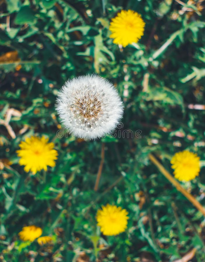 Top view of a field of dandelions stock image