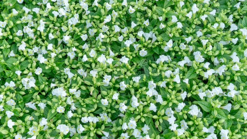 Top view, a field of prettty pink petals of Wishbone flower blooming on green leaves, known as Bluewings or Torenia, flowering. Plant in Scrophulariaceae stock images