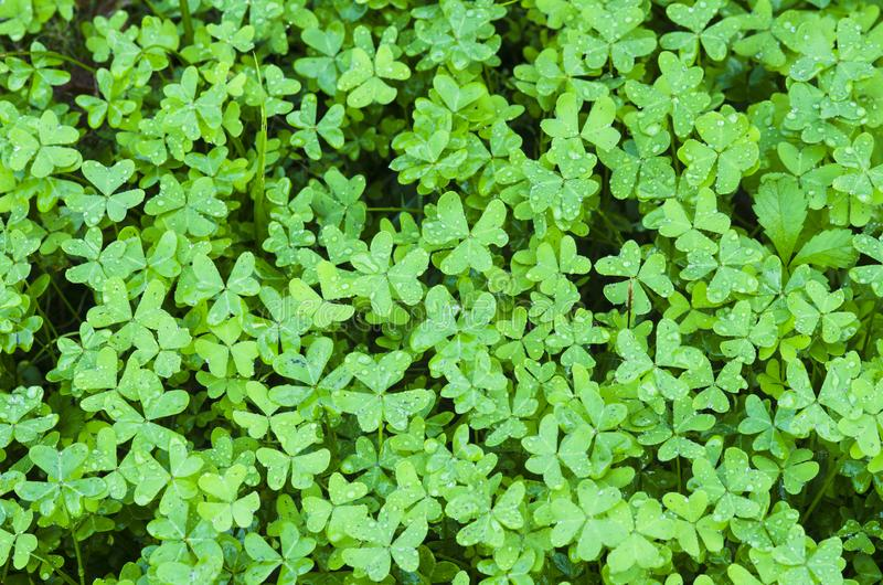 Clover Or Trefoil Are Common Names For Plants Of The Genus