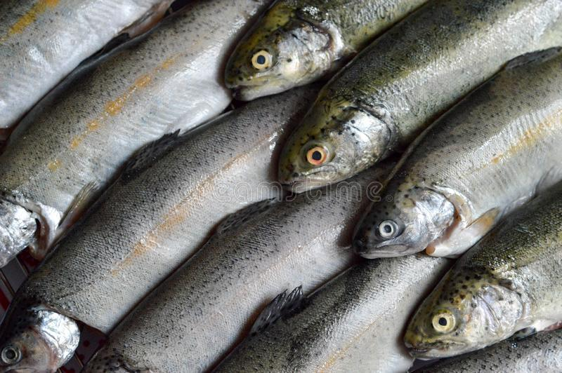 Fresh trout fish royalty free stock photo