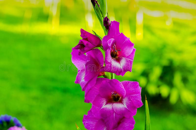 Top view of a gorgeous purple gladiolus flower isolated against a background of green leaves. royalty free stock photos