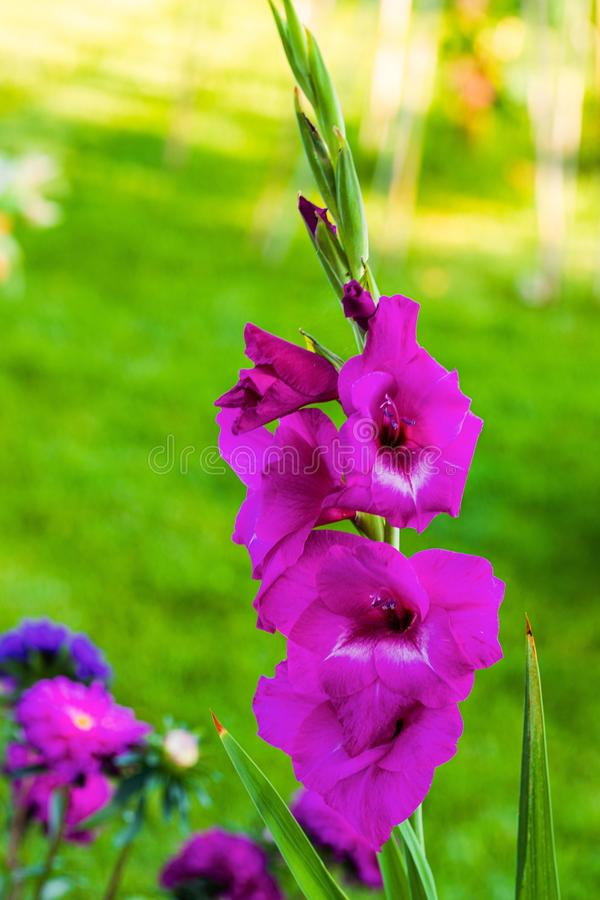 Top view of a gorgeous purple gladiolus flower isolated against a background of green leaves. stock photo