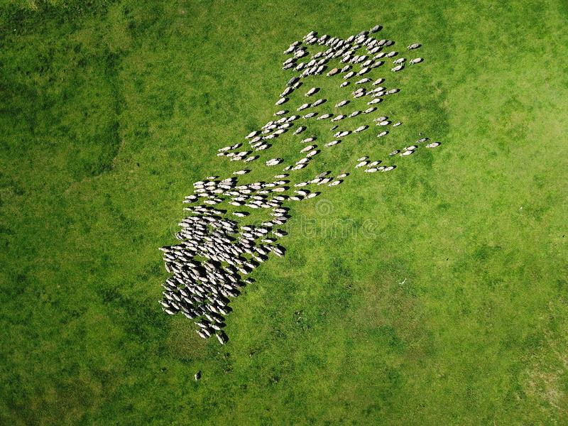 Aerial view of grazing sheep flock on spring field royalty free stock image