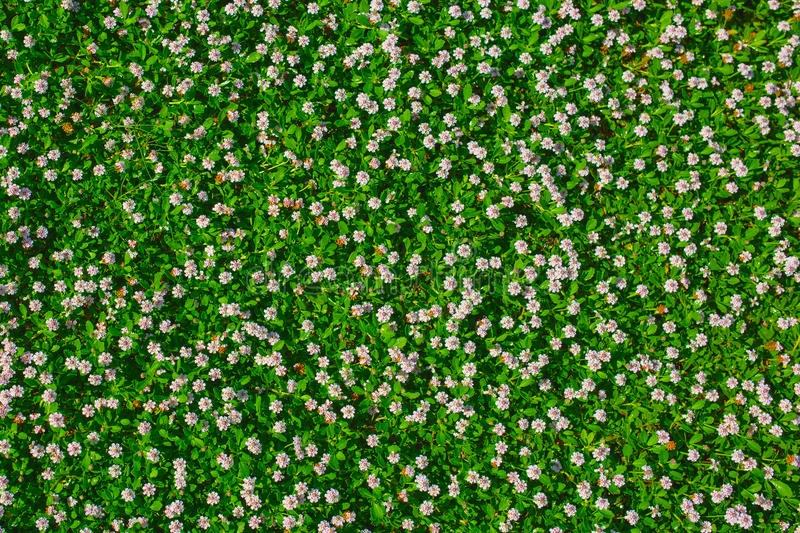 Top view of green grass with small white flowers stock photo image download top view of green grass with small white flowers stock photo image of textured mightylinksfo Choice Image