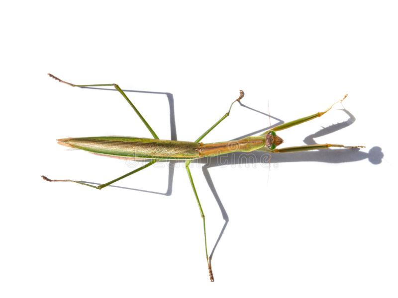 Top view of Green Hierodula patellifera common name giant Asian, or Harabiro Mantis, is a species of praying mantis. royalty free stock photography